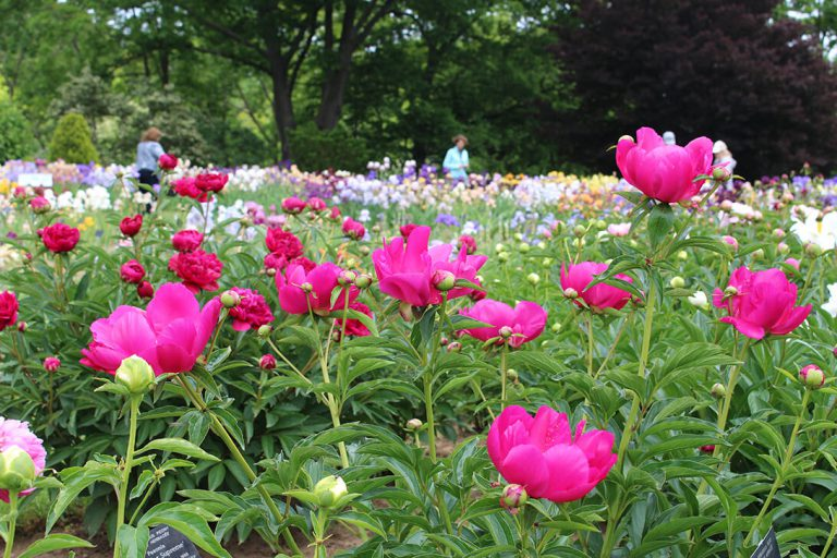 LakingGarden-peonies-June2
