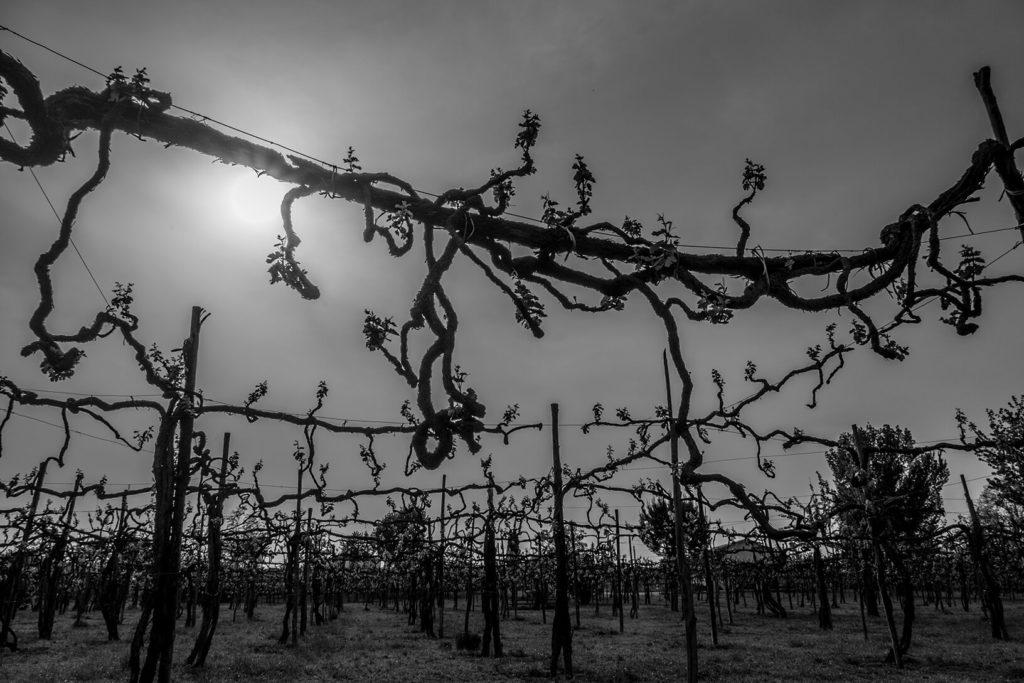 Gnarly old vines, Taurasi, Campania