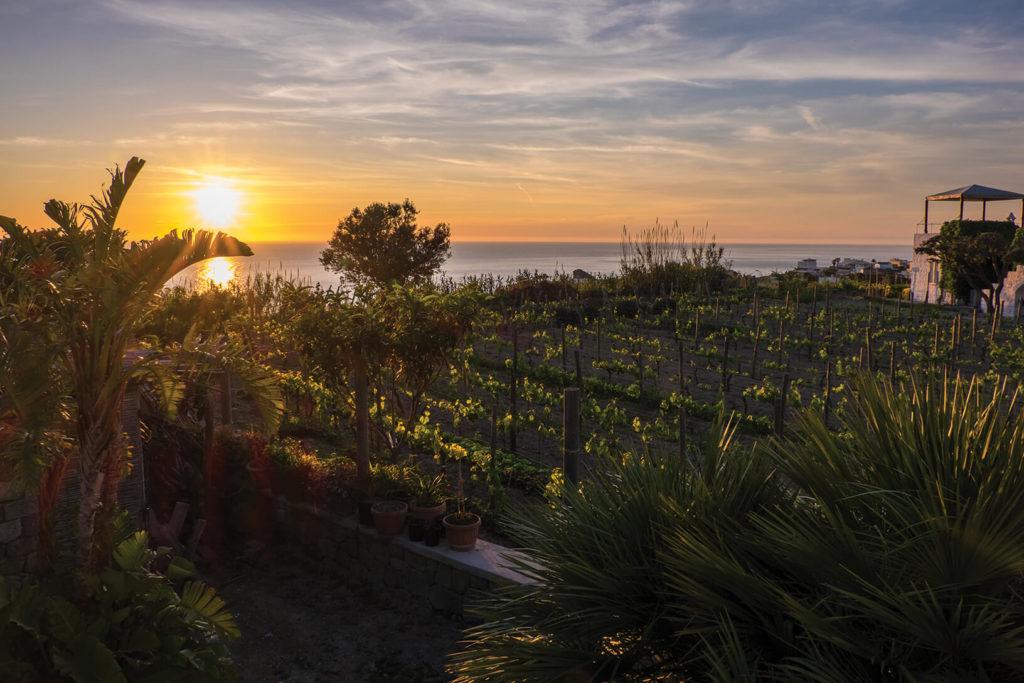 Sunset over vines, Ischia