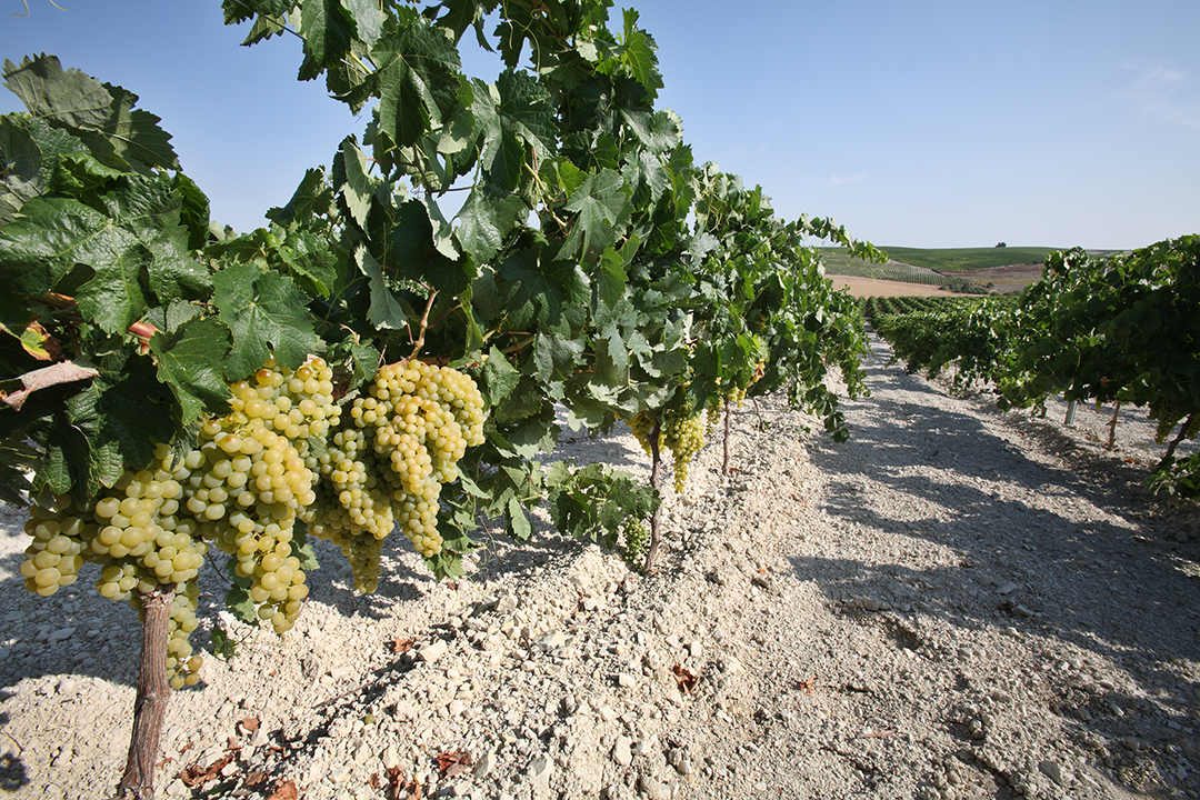 Valdespino Vineyard
